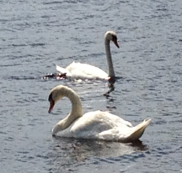 Seeing all the swans on the lake was breath taking.